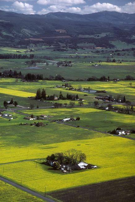 Wild mustard grows near Oakville, Ca