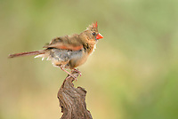 511650086 a wild female northern cardinal cardinalis cardinalis rousts while perched on a stump in the rio grande valley texas united states