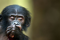 Bonobo male baby aged 1 year (Pan paniscus), Lola Ya Bonobo Sanctuary, Democratic Republic of Congo.