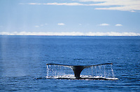 Humpback whale fluke as it dives in the blue waters of Prince William Sound, Alaska