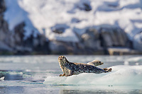 Harbor seals lays on a floating iceberg to thermoregulate from the chilly waters of Nellie Juan Lagoon in Prince William Sound, southcentral, Alaska.