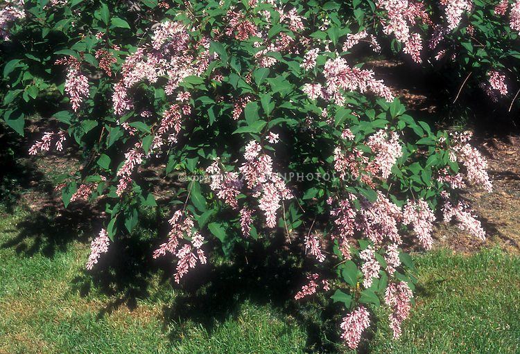 Syringa komarovii subsp reflexa, aka Syringa reflexa, Chinese Lilac in flower in spring, showing plant habit and blooms of pink