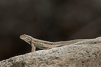 442690004 a wild western side-blotched lizard uta stansburiana elegans in the buttermilks near bishop owens valley inyo county california united states