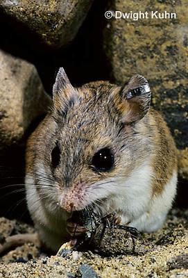 MU32-003z  Northern Grasshopper Mouse - eating grasshopper - Onychomys leucogaster