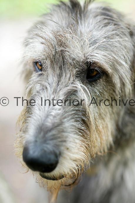 A portrait of Dune the Irish wolfhound