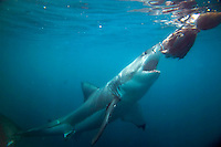 GANSBAAI, SOUTH AFRICA, DECEMBER 2004. Brian Mc Farlane organises Great White Shark cage diving tours out of Gansbaai. Gansbaai is one of the best places in the world to see the Great white in its natural habitat. Photo by Frits Meyst/Adventure4ever.com