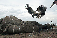 White-backed Vultures (Gyps africanus) fighting over carcass of dead African Elephant (Loxodonta africana), Maasai Mara National Reserve, Kenya.