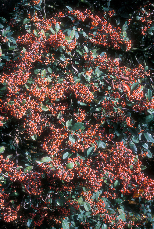 Cotoneaster lacteus in berries in autumn