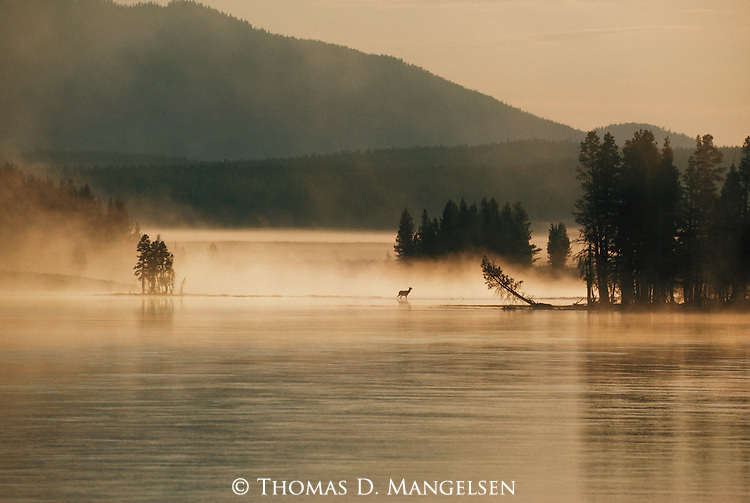 A lone elk stands in the early morning fog rising from the Yellowstone River in Yellowstone National Park, Wyoming.