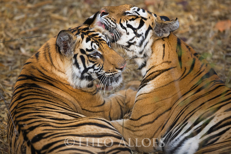 India, Bandhavgarh National Park, Bengal tigress licking 17 months old cub, dry season
