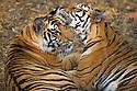 India, Bandhavgarh National Park, Bengal tigress licking 17 months old cub, dry season