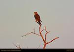 Taiga Merlin at Sunset, Sanibel Island, Florida