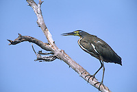 548020031 Bare-throated Tiger Heron Trigisoma mexicanum WILD.Perched on Dead Snag .Tamaulipas State, Mexico