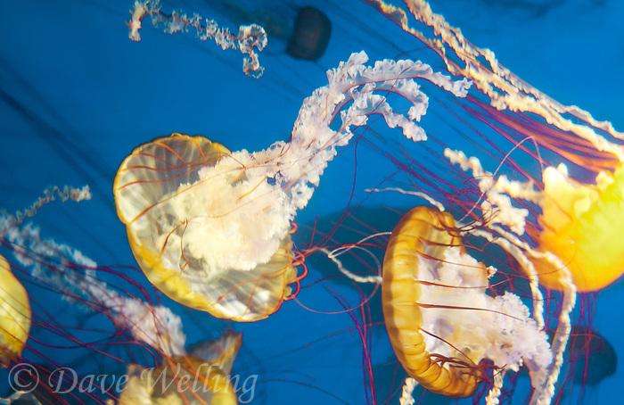 435250004 pacific sea nettles chrysaora fuscescens float in their aquarium at the long beach aquarium in long beach california