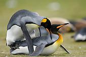 King Penguins (Aptenodytes patagonicus) mating, Falkland Islands.