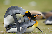 King Penguins (Aptenodytes patagonicus) mating, Falkland Islands.