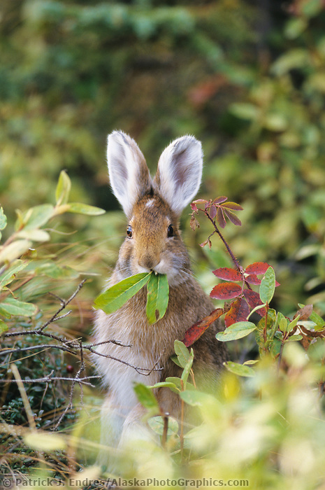 Snowshoe hare feeds on green willow leaves, summer, Denali National Park, Alaska