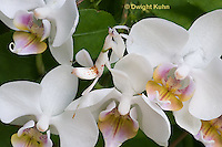 """1M24-502z  Malaysian Orchid Mantis - Hymenopus coronatus """"Nymph, camouflaged on orchids"""