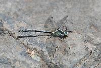 344000012 a wild male grappletail octogomphus specularis perches on a rock along ash creek near ash creek campground lassen county california