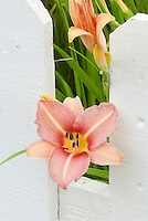 Daylily Stoke Poges Hemerocallis in flower with apricot pink blooms and pale stripe midrib, red center and green yellow throat blooming through white picket fence