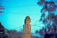 A short-eared owl, known as a Pueo, is sacred in Hawaiian culture as an aumakua. A native endangered species in Hawaii. (species: asio flammeus sandwichensis)