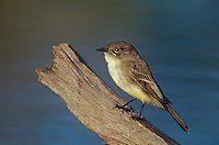 571018059 a wild eastern phoebe sayornis phoebe perches on a dead stump near a small pond in the rio grande valley of south texas
