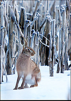 BNPS.co.uk (01202 558833)<br /> Pic: AdamTatlow/BNPS<br /> <br /> Hare in the snow.<br /> <br /> Cotswold gamekeeper shoots amazing pictures of British wildlife - without the aid of long lenses and elaborate techniques.<br /> <br /> The incredible photos may look like they have been shot from miles away - but amazingly Adam Tatlow is actually just feet away from his wild subjects.<br /> <br /> The 46-year-old's affinity with nature has allowed him to get up close and personal with some of the UK's most endearing wildlife.<br /> <br /> Adam's trusty camera is never far from his side as he goes about his work as a gamekeeper on an estate in the Cotswolds countryside.<br /> <br /> He has built up a stunning portfolio of snaps that lift the lid on rarely-seen birds and animals found in forests throughout the country.<br /> <br /> Adam's subjects have included timid fox cubs, bounding hares, inquisitive hedgehogs and colourful kingfishers.<br /> <br /> He is so at one with nature that he knows how to call animals to him, and often gets within 30ft of them.