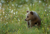Brown Bear (Ursos arctos), cub looking, Finland, July 2012