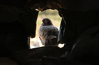 Al Zaytoun, Gaza.  A pigeon rests in the hole made by an israeli mortar in the wall of the Selmi Family house in this village of farmers in the outskirts of Gaza at the end of the Israeli military campaign, known as Operation Cast Lead.The conflict resulted in between 1,166 and 1,417 Palestinian and 13 Israeli deaths (4 from friendly fire).   (PHOTO: MIGUEL JUAREZ LUGO).