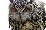 European eagle owl close-up, glare