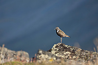 American golden plover, Arctic National Wildlife Refuge in the Brooks range mountains, Alaska.