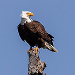Eagles soar in Yellowstone National Park.