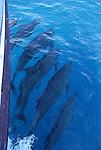 Bottlenose dolphin bow-riding