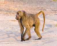 Yellow Baboon, Kasane Forest Reserve, Botswana