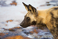 Close-up profile view of an African wild hunting dog, Botswana