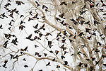 Brazoria County, Damon, Texas; a flock of Red-winged Blackbirds and Great-tailed Grackle birds in flight after feeding in the pasture