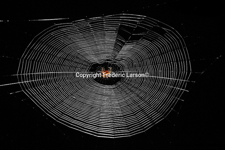 The construction of a spider web photographed at night in Mill Valley, CA...
