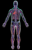 A posterior view of the vascular system. The surface anatomy of the body is semi-transparent and tinted red and green. Royalty Free