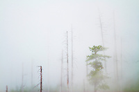 A mist envelops a high treeline as clouds drop into the Hoh River Valley and the Hoh Rainforest. The Hoh River trail in Olympic National Park starts in the mossy and lush Hoh Rain Forest. From there you climb over 5,000 ft. in elevation along towering trees and rock to overlook the windswept Blue Glacier on Mt. Olympus. Tracing your steps back to the Hoh River visitors center the hike covers over 36 miles of diverse climate and ecosystems ranging from temperate rain forest to alpine.