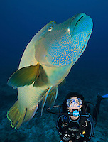 RH0904-Dv. Napoleon Wrasse (Cheilinus undulatus), and scuba diver (model released). Palau, Pacific Ocean.<br /> Photo Copyright &copy; Brandon Cole. All rights reserved worldwide.  www.brandoncole.com