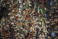 Monarch (Danaus plexippus), group roosting, California, USA