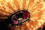 Catalina Island, Channel Islands, California; Giant Keyhole Limpet (Megathura crenulata) , Copyright © Matthew Meier, matthewmeierphoto.com All Rights Reserved