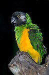 Senegal Parrot, Poicephalus senegalus, green and yellow feathers, West Africa.Gambia....