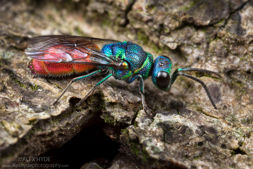 Ruby-tailed wasp / Cuckoo wasp {Chrysis ignita} on wood. Derbyshire, June.