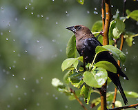 Brown-headed Cowbirds are smallish blackbirds, with a shorter tail and thicker head than most other blackbirds.