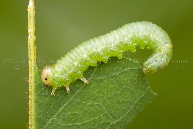 A Sawfly (Tenthredinidae sp.) larva eats a black locust tree leaf.