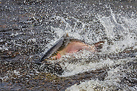 Male coho or silver salmon (Oncorhynchus kisutch) on fall spawning migration swimming up shallow river.  Pacific Northwest.  October.  Wild fish not hatchery fish.
