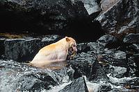 Kermode Black Bear (Ursus americanus kermodei) catching salmon, Princess Royal Island, British Columbia.  Sept.