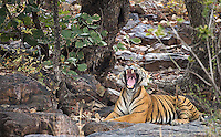 Male tiger T-24 was resting most of my final afternoon in Ranthambore, so he didn't provide much in the way of photo ops.