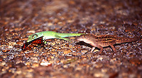 A green anole and a brown anole vie for a palmetto bug meal, Daytona Beach, FL . (Photo by Brian Cleary / www.bcpix.com)